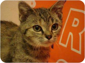 Domestic Shorthair Kitten for adoption in Greer, South Carolina - Cashmere