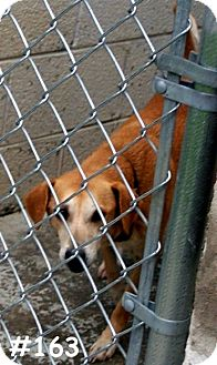 Hound (Unknown Type) Mix Dog for adoption in Floyd, Virginia - URGENT - At Pound #163