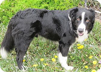 Border Collie Mix Dog for adoption in San Pedro, California - JOHNNIE