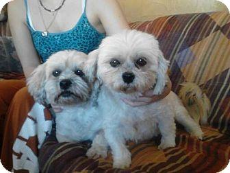 Shih Tzu Mix Dog for adoption in Snyder, Texas - Maxi