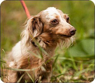 Dachshund Dog for adoption in Colville, Washington - Spice