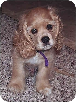 Cocker Spaniel Mix Puppy for adoption in Owatonna, Minnesota - Squirt