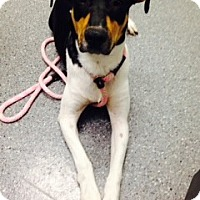Adopt A Pet :: Lily - Chesterfield, VA