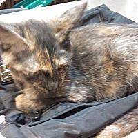 Adopt A Pet :: Pawn - Chandler, AZ