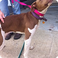 Adopt A Pet :: Andi - Marshfield, MA