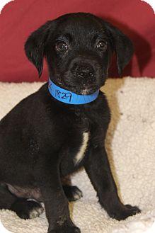 Chow Chow/Labrador Retriever Mix Puppy for adoption in Waldorf, Maryland - Derrick