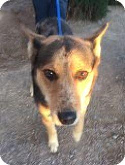 Australian Shepherd Mix Dog for adoption in Las Vegas, Nevada - Coby