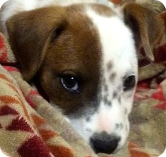 Border Collie Mix Puppy for adoption in Thousand Oaks, California - Ashley