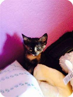 Calico Kitten for adoption in Rocklin, California - Zambezi