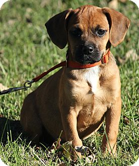 Boxer/Cocker Spaniel Mix Puppy for adoption in Windham, New Hampshire - Bentley