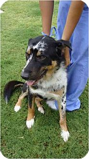 Border Collie/Anatolian Shepherd Mix Dog for adoption in Lavon, Texas - Jack