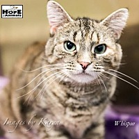 Domestic Shorthair Cat for adoption in Marlboro, New Jersey - Whispurr