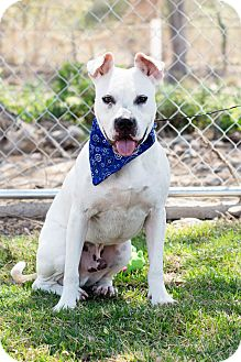 Staffordshire Bull Terrier Mix Dog for adoption in Victoria, British Columbia - Champ