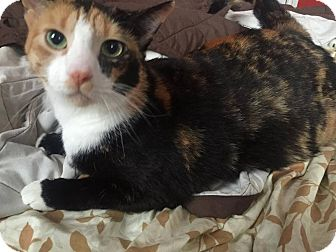 Domestic Shorthair Cat for adoption in Woodstock, Ontario - Penny