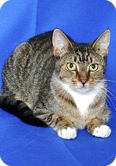 Domestic Shorthair Cat for adoption in Gloucester, Virginia - LUIGI