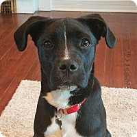 Adopt A Pet :: Ozzy-adoption pending - Schaumburg, IL