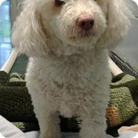 Adopt A Pet :: Jackson NJ - Snowy - New Jersey, NJ