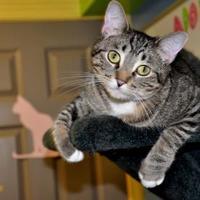 Adopt A Pet :: Maleficent - Northbrook, IL