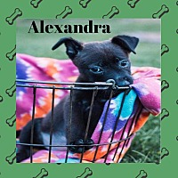 Adopt A Pet :: Alexandra - WESTMINSTER, MD