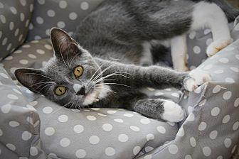 Domestic Shorthair Kitten for adoption in Ft. Payne, Alabama - Chaz
