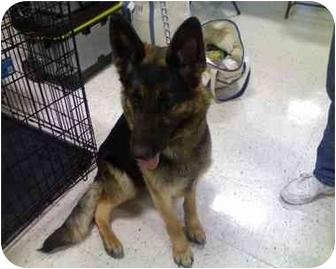 German Shepherd Dog Mix Dog for adoption in Geneva, Illinois - Que
