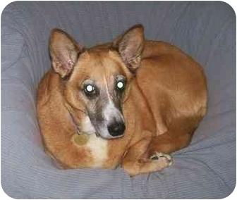 German Shepherd Dog/Golden Retriever Mix Dog for adoption in Oak Ridge, New Jersey - Kara-NICE DOG