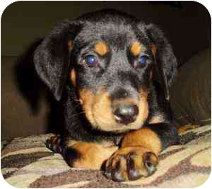 Rottweiler/Doberman Pinscher Mix Puppy for adoption in Haughton, Louisiana - Rotterman puppies (8)