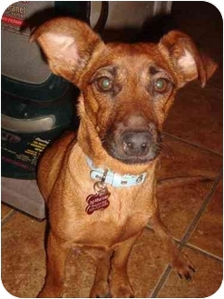 Dachshund/Jack Russell Terrier Mix Dog for adoption in Encino, California - SHANNON