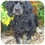 Photo 1 - Cocker Spaniel Dog for adoption in Sugarland, Texas - Brady