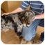 Photo 2 - Australian Shepherd/Australian Cattle Dog Mix Puppy for adoption in Broomfield, Colorado - Doris Day