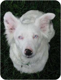 Australian Shepherd Dog for adoption in Blooming Prairie, Minnesota - Cassie