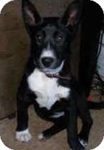Border Collie/Cattle Dog Mix Dog for adoption in latrobe, Pennsylvania - Cabella