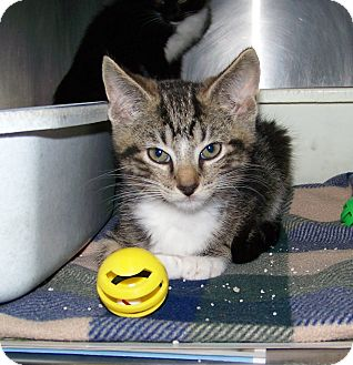 Domestic Shorthair Kitten for adoption in Dover, Ohio - Gorty