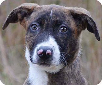 Boxer/German Shepherd Dog Mix Puppy for adoption in Spring Valley, New York - Rowdy