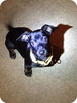 Dachshund Puppy for adoption in Reno, Nevada - Stark