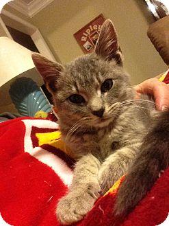 Domestic Shorthair Kitten for adoption in Huntsville, Alabama - Brody