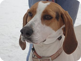 Treeing Walker Coonhound Mix Dog for adoption in Craig, Colorado - Hazel