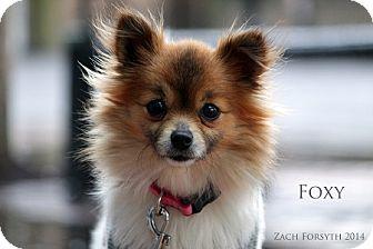 Pomeranian Mix Dog for adoption in Portland, Oregon - Foxy