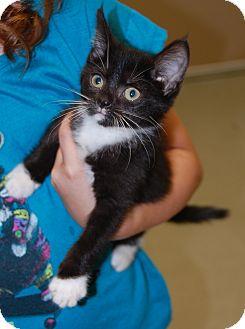 Domestic Mediumhair Kitten for adoption in Bucyrus, Ohio - CarlyMaddyKitKatGumball..IzzyB