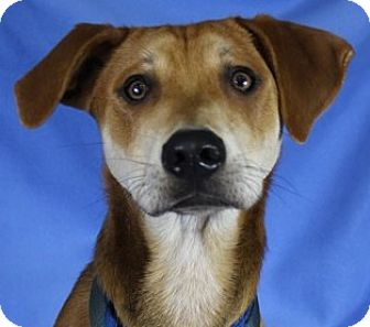 Hound (Unknown Type) Mix Dog for adoption in Minneapolis, Minnesota - Milo
