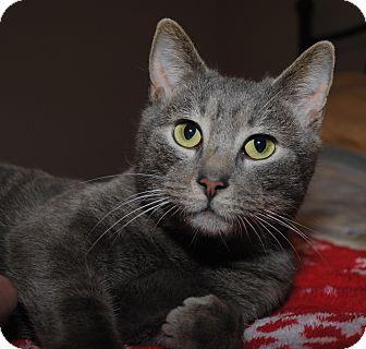 Domestic Shorthair Cat for adoption in Monroe, North Carolina - Jasper