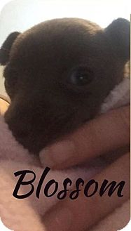 Chihuahua Mix Puppy for adoption in Kingwood, Texas - Blossom