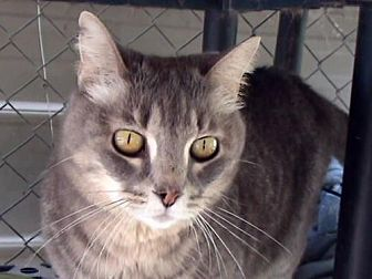 Domestic Shorthair Cat for adoption in Tyler, Texas - AA-Gracie