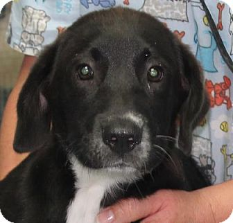 Labrador Retriever/Retriever (Unknown Type) Mix Puppy for adoption in Chicago, Illinois - Charlotte*ADOPTED!*