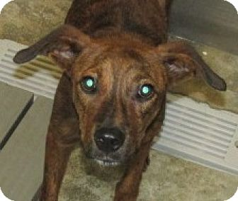 Retriever (Unknown Type) Mix Dog for adoption in Aiken, South Carolina - ANDY