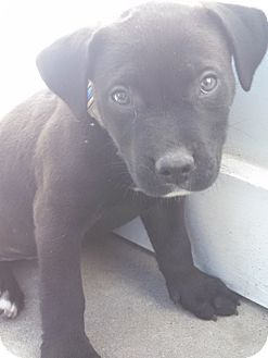 Boxer Mix Puppy for adoption in Camilla, Georgia - Tyson
