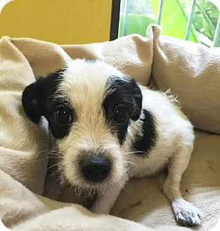 Cairn Terrier/Parson Russell Terrier Mix Puppy for adoption in Boca Raton, Florida - Popcorn