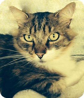 Maine Coon Cat for adoption in Tiburon, California - Lorenzo