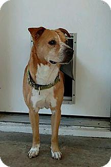 Labrador Retriever/Blue Heeler Mix Dog for adoption in Austin, Texas - Rusty