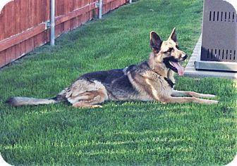 German Shepherd Dog Dog for adoption in Woodinville, Washington - Zeus